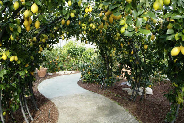 Pescia The Citrus Fruit Garden Toscanamore Blog Of The